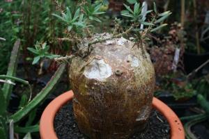 Pachypodium bispinosum caudex