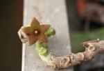 Cibirhiza dhofarica